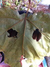 葉のおばけ